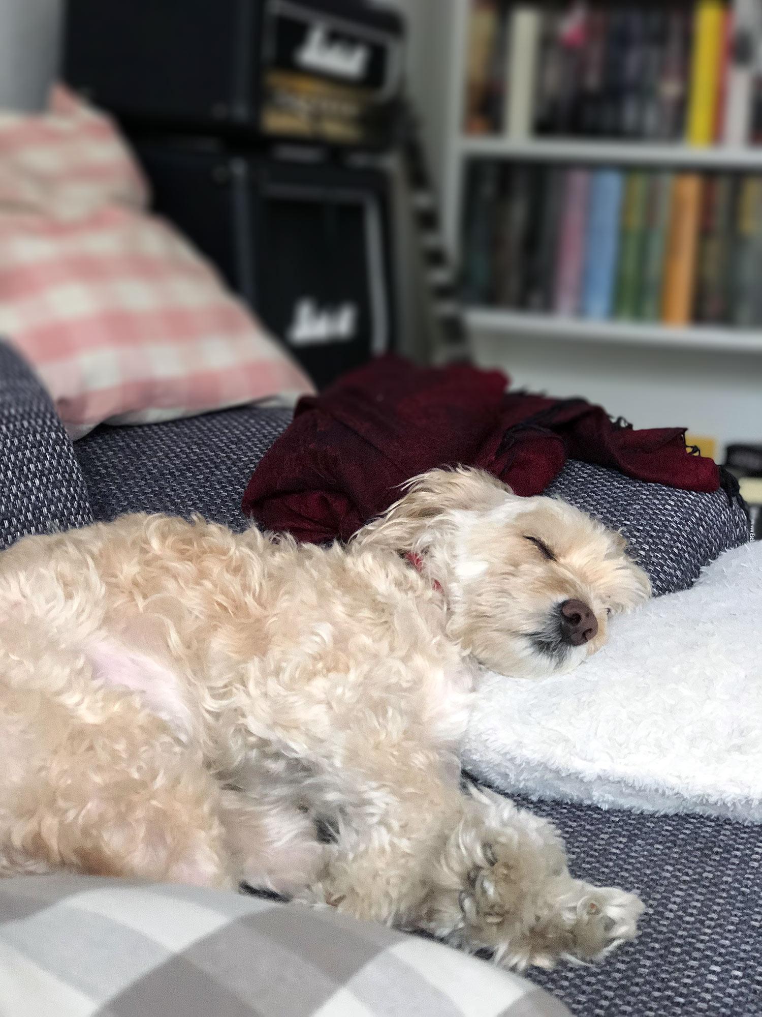 pudel schläft
