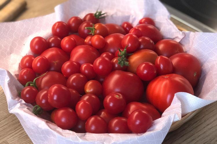 ernte tomaten selbst anbauen