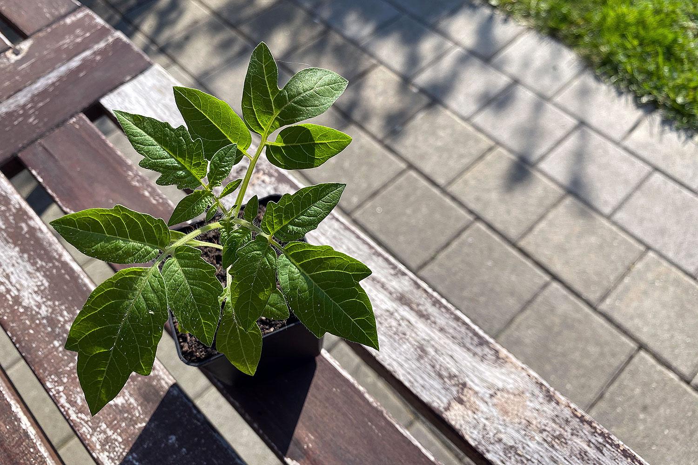 gemüse tomaten anbauen wladiwostock