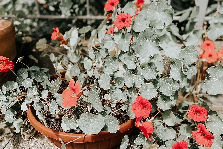 kapuzinerkresse gemüse anbau selbstversorger