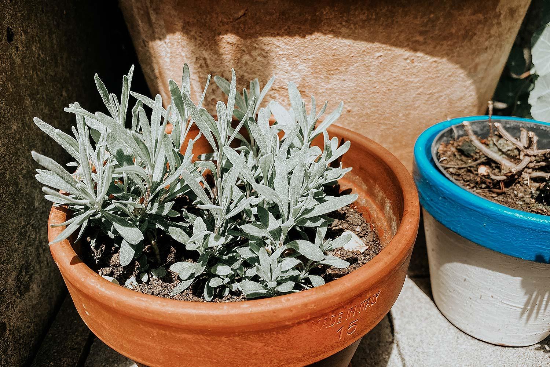 lavendel blumen anpflanzen